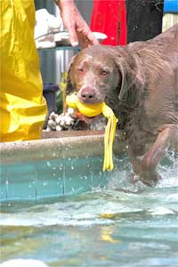 silver lab at pool