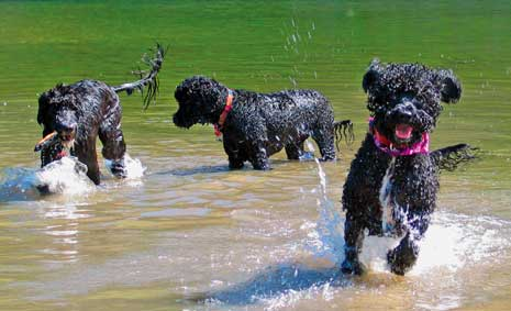 portugese water dogs photo