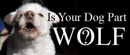 magazine write-up concerning wolves