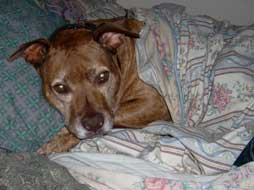 pitbull under covers