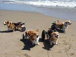 four corgi's in carts