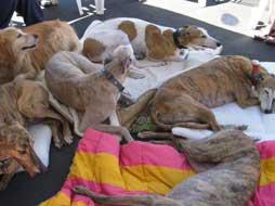 greyhounds laying down