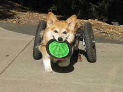 corgi on wheels
