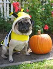 pug in bee costume
