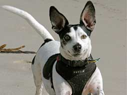 black and white jack russel sparky