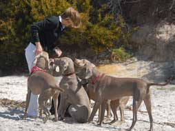weimaraners lined up on beach for treats